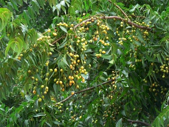 Mẫu cây xoan đào miền Bắc