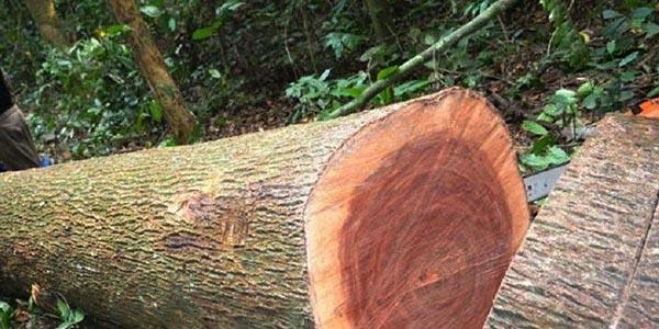 Ưu điểm của gỗ xoan đào là gì?