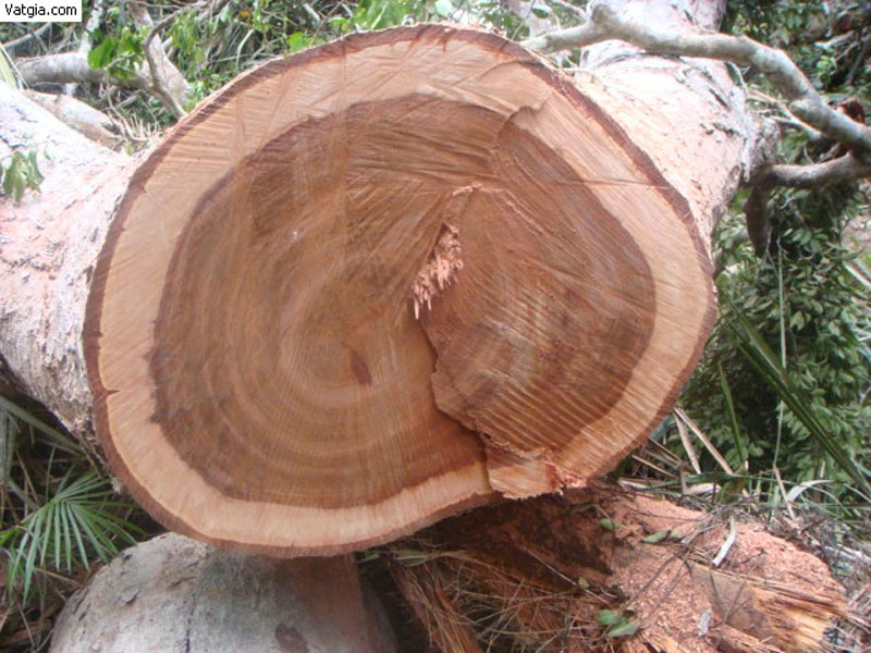 Thân gỗ xoan đào vừa được khai thác