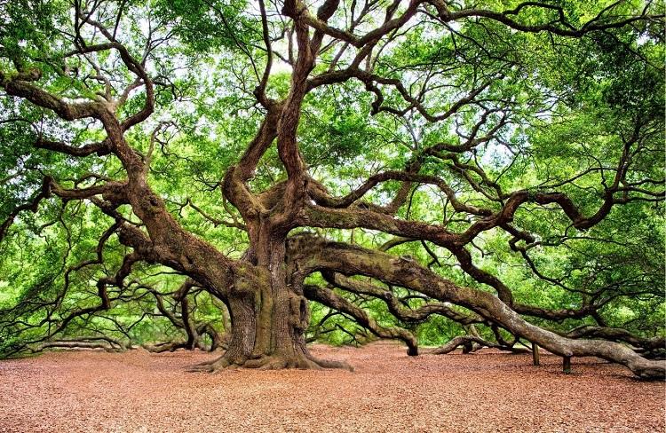 Hình ảnh cây gỗ sồi Mỹ (OAK)