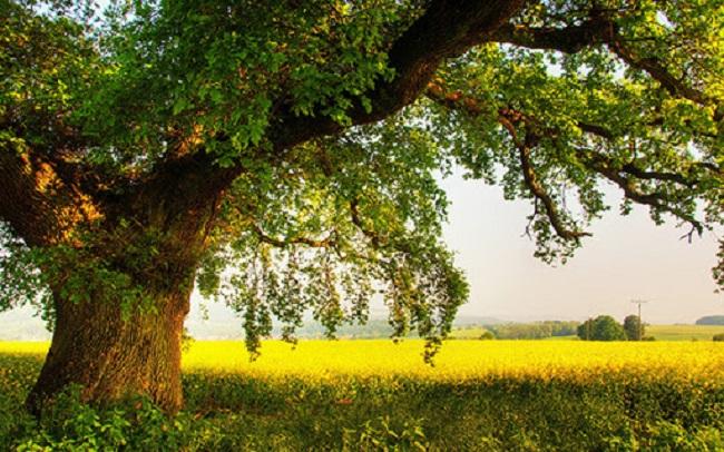 Hình ảnh cây gỗ sồi tự nhiên